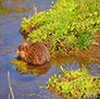 A Muskrat having an afternoon snack, somewhere in the Big Valley.