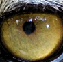The Eye of the Tiger. This is the Sumatran Tiger.