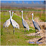 Sandhill Cranes on Migration in the Big Valley