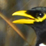 Here's a Yellow Billed Magpie, looking for mischief.